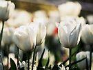 White Tulips by NinaJoan