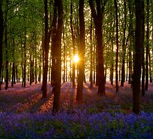 Bluebell Wood At Sunset (Centre Sun) by George Wheelhouse