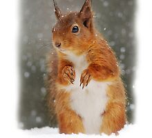 Red Squirrel Christmas Card by Nigel Tinlin