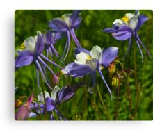 Colorado Blue Columbine Wildflowers Canvas Print