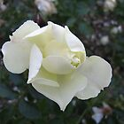 White Rose by orko
