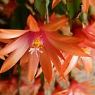 Zygocactus : Schlumbergera truncata by Trish Meyer