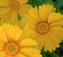 Yellow Coreopsis  by Bill Spengler