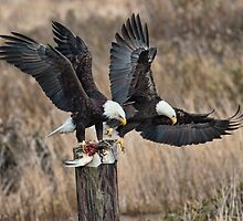 Bald Eagles with Prey by David Friederich