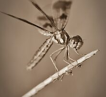 Amberwing in Sepia by Briar Richard