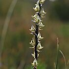 Prasophyllum elatum by Colin12