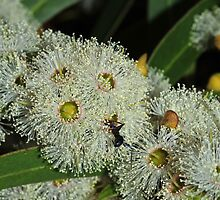 Eucalyptus flowers with visitor by Colin12
