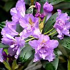 Purple Rhododendron by claireh