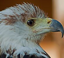 African Fish Eagle by JMChown