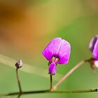 Hairy Small-Leaf Ticktrefoil  by Lee Hiller-London