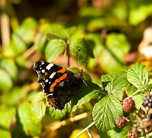 Red Admiral Butterfly by Jon Lees