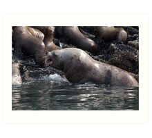 Bull Moose Sea Lion, Juneau, Alaska Art Print