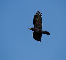 Rook in Flight by Jon Lees