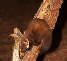 Pine Marten in Tree Trunk by kernuak