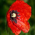 Poppy in my Garden by WendyJC