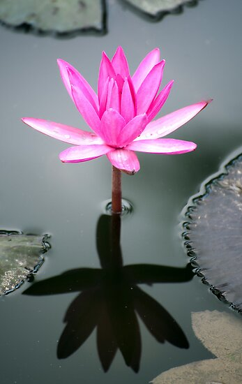 Tropical Diva - waterlilly flower by Jenny Dean