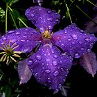 Purple garden flower dripping after the storm by Geode