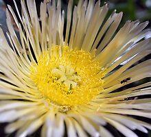Flowering Pigface (Carpobrotus edulis) - Anglesea by Henry Inglis