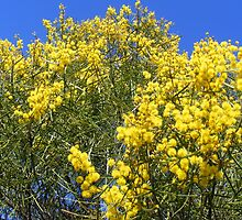 Yellow & blue - wattle on a spring day by hilltopgully