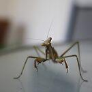 Praying mantis by Megan Warren
