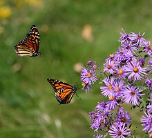 Monarchs In Flight by NewfieKeith