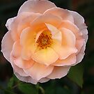 Apricot Rose by Robyn Selem