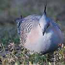 Crested Pigeon by Anna Ryan