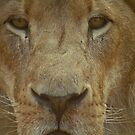Lion portrait up close by GrahamCSmith