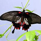 Mormon Butterfly by vette