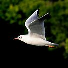 Black headed gull in summer plumage by Anthony Thomas