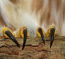 Northern Saw-whet Owl Talons by Daniel Cadieux
