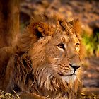 Young Lions, London Zoo, UK by strangelight