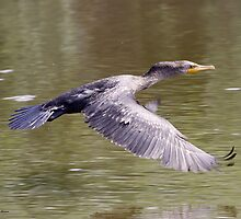 Double crested Cormorant by Dennis Cheeseman