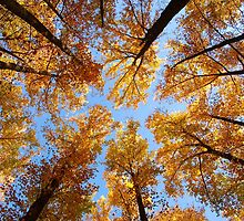 looking up to fall by dc witmer