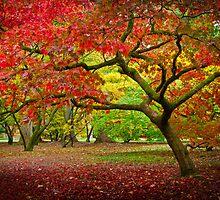 Acer Glade, Westonbirt Arboretum, England by Giles Clare