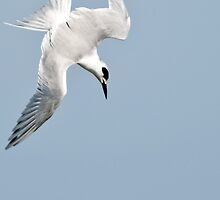 Diving Tern by Jim  Hansen
