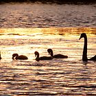 swans at sunset by dpbphotography