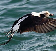 Long-tailed Duck (male) by Alinka