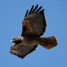 Western Red Tailed Hawk by AH64D