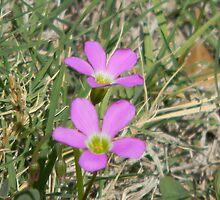 Violet Wood Sorrel - Oxalis violacea by Navigator