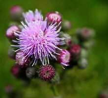 Blooming Purple Thistle by Erika  Hastings