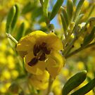 Senna artemisioides (subspecies zygophylla) - Lowly Peninsula, South Australia by Dan & Emma Monceaux