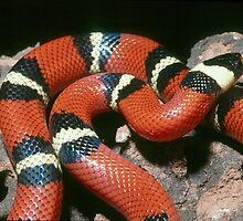 Banded King Snake - Mexico by Austin Stevens
