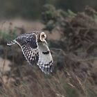 Short-eared Owl Fly Past by Nigel Tinlin