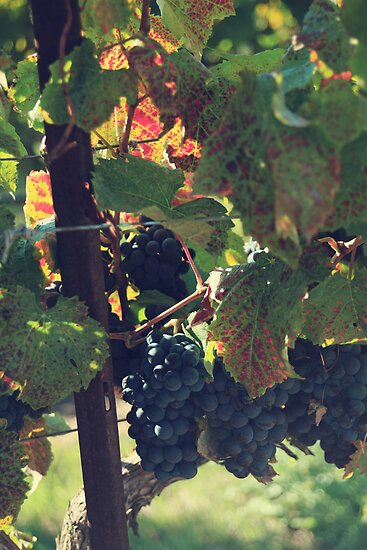 Grapes by Laurie Search