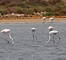Pink Flamingos Southern France by Paul Pasco