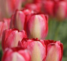 Tulips by Debbie Stika