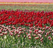 Skagit Valley Tulip Fields by Debbie Stika
