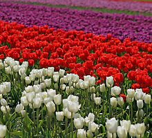 Colorful Fields Of Tulips by Debbie Stika