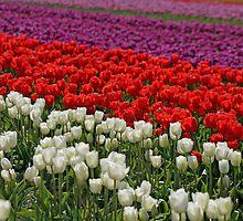 Colorful Fields Of Tulips by Debbie Stika